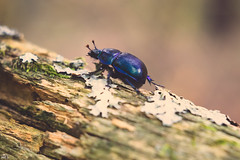 252/365 (misa_metz) Tags: nikon nature naturephotography photo photography outdoor colors color autumn fall forest bug beetle insect hélios macro