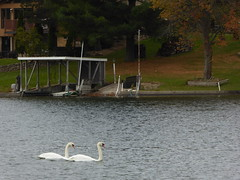 Swans on the Lake (Philosopher Queen) Tags: swans lake michigan autumn
