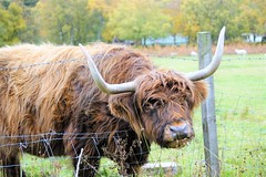 .A highland cow with character. (artanglerPD) Tags: highland cow through fence