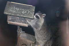 Raccoon Clearing out the Feeder - Saturday October 27th, 2018 (cseeman) Tags: raccoon saline michigan feeder visitor animals backyard birdfeeder raccoon10272018 raccoonfeeder10272018 raccoonatthefeeder raccoonfeeder