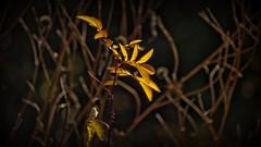 Shine on Me !! (Bob's Digital Eye) Tags: autumn autumnleaves back30 backlit bobsdigitaleye canon canonefs55250mmf456isstm dark foliage leaves light november2018 organicshapes organictextures plant shadows t3i flickr flicker