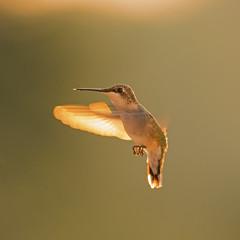 Hummingbird in morning light (Photohobbist20) Tags: hummingbird morning light