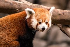 DC Zoo Red Panda 3-0 F LR 9-16-18 J057 (sunspotimages) Tags: animal animals wildlife nature panda pandas redpanda redpandas zoo zoos zoosofnorthamerica nationalzoo fonz fonz2018 dczoo
