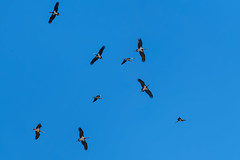 Black Storks - Segonha-preta - Ciconia nigra (www.craigrogers.photography) Tags: storks blackstorks cegonhapreta ciconianigra sagres portugal algarve migration