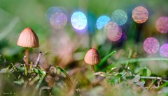 Les premiers champignons - 6029 (ΨᗩSᗰIᘉᗴ HᗴᘉS +23 000 000 thx) Tags: mushroom champignon bokeh fuji fujifilmgfx50s fujifilm macro hensyasmine namur belgium europa aaa namuroise look photo friends be wow yasminehens interest intersting eu fr greatphotographers lanamuroise