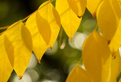 Yellow (Skyline:)) Tags: smileonsaturday seasonsflora autumn yellow leaves leaf bright