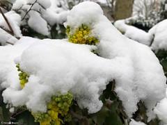 feuilles-fleurs-sous-neige© (alexandrarougeron) Tags: photo alexandra rougeron neige urbain paysage nature paris