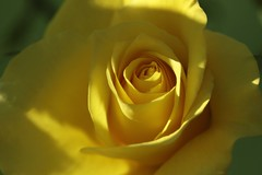 Friesia      KINN Paris  Anastigmat   F. 105   1 ; 4,5 (情事針寸II) Tags: oldlens マクロ撮影 自然 花 薔薇園 薔薇 macro nature fleur flower rosegarden rose kasteelcoloma kinnparisanastigmatf105145