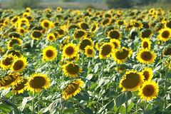 sunflowers in Essex county (Simon -n- Kathy) Tags: thornbury ontario greycounty fall autumn trees walk path hike apples