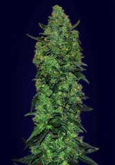 Unknown (Watcher1999) Tags: skunk mass super critical cannabis feminized california jamaica medical marijuana seeds growing strain marijuan bob marley plant weeds weed smoking ganja legalize it reggae