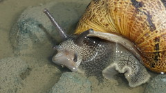 snail (~filth~filler~) Tags: dsc07784 sony a6300 digital snail gastropod shell sanfrancisco california macro macrolensextensiontube puddle grey gray eyes stalks