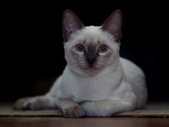 PA280579 (Vladimir V. Samoylov) Tags: 75mm animals cat e5markii mzuiko75mmf18 m43 micro43 microfourthirdsmicro43 olympus olympusm75mmf18 omd μ43