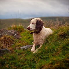 Rupert in Rural Rochdale (Missy Jussy) Tags: rochdale rupert rupertbear englishspringer springerspaniel spaniel dog dogwalk dogportrait pet animal mansbestfriend malespringerspaniel rural countryside lancashire landscape grass fields hills horizon sky outdoor outside 50mm ef50mmf18ll ef50mm canon50mm fantastic50mm canon 5d canon5dmarkll canon5d canoneos5dmarkii wetdog