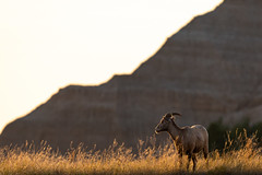 Sheep in Badlands ((JAndersen)) Tags: badlands badlandsnationalpark southdakota sunrise animal wildlife bighornsheep nature d810 dawn nikkor20005000mmf56 nikon