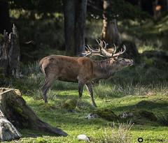 Die Brunftzeit der Hirsche (john_berg5) Tags: hirsch deers ruttingseason brunftzeit natur wildlife forest wald nikon d750 bayern licht light
