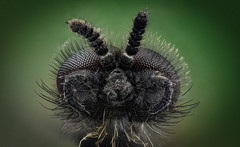 Small black fly (brianjobson) Tags: diptera fly insect arthropod compound eye hairy extrememacro macro dofstacking focusstacking