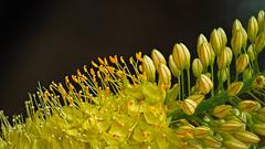 Untitled (Roniyo888) Tags: small yellow flower filament stamen bud stalk closeup black background