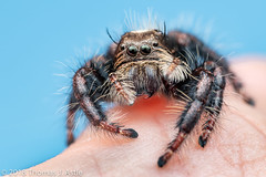 Jumping Spider (Hyllus sp.) (Tom's Macro and Nature Photographs) Tags: macrophotography arachnids arthropods spiders jumpingspiders salticids salticidae hyllus mozambique gorongosa