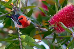 Scarlet Honeyeater (Myzomela sanguinolenta) (Ian Colley Photography) Tags: bird canoneos7dmarkii queensland scarlethoneyeater myzomelasanguinolenta gladstone ef500mmf4lisusm