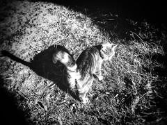 Shadow of a funny tail 🐈 (LUMEN SCRIPT) Tags: shadow light softfocus animal cat blackandwhite monochrome iphone