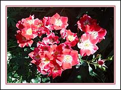 Garden Roses (bigbrowneyez) Tags: roses shrub singleroses petals delight delightful precious lovely charming fabulous gorgeous fancy elegant light sunny sunshine sole luce fiori natura nature pretty mybackgarden miogiardino belle bellissimofoto bellissime ottawa canada fleurs gardenroses pinkred frame cornice
