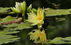 Yellow Water Lily and Reflection (Susan Roehl) Tags: naplesbotanicalgardens naples florida waterlily plant flower sueroehl panasonic lumixdmcgx8 handheld water reflection coth ngc coth5
