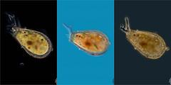 LOS BRAZOS DE LONGINEBELA, TURBERAS DE PEÑAYERRE (PROYECTO AGUA** /** WATER PROJECT) Tags: turberasdepeñayerre sierracebollera larioja spain taxonomy:kingdom=protistnebela ameba microscopy iesesculltordaniel antonioguillén taxonomy:kingdom=protozoa taxonomy:phylum=protozoa taxonomy:class=lobosa taxonomy:order=arcellinida taxonomy:family=nebelidae taxonomy:genus=nebela pondlife proyectoagua amoeba testaceae fotografíamicroscópica microfotografía microscopio microphotography vidaocultadelagua microorganismos fotografíasmicroscópicas photomicrography imágenesmicroscópicas vidaoculta lavidaocultadelagua thelifehiddenofthewater taxonomy:binomial=nebelapenaridiana taxonomy:species=collaris