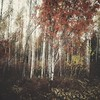 Intermission (Stefano Rugolo) Tags: stefanorugolo huaweip9lite snapseed autumn forest impression abstract birch trees tones textures squareformat wood tree