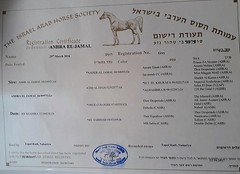 CERTIFICATE I - Copy (redi3103) Tags: egyptian arabian horse for sale buy champion
