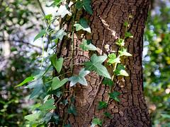 09072018-DSCF8899-2 (Ringela) Tags: natur saint honorat juli 2018 france ilesdelérins nature wood fujifilm xt1