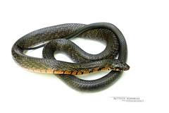 Drymarchon melanurus (Matthieu Berroneau) Tags: trip mexique mexico sony alpha macro nature france herpéto wildlife animal animaux ff 24x36 full frame a7ii 7ii 7mk2 sonyilce7m2 herping herpeto reptile reptilian reptilia serpent serpente snake serpentes snakes serpiente field serpents sonya7ii sonya7mk2 sonyalpha7mark2 sonyalpha7ii 90 28 fe f28 g oss fe90f28macrogoss sonyfesonyfe2890macrogoss objectifsony90mmf28macrofe sel90m28g herpmex drymarchon melanurus drymarchonmelanurus indigo serpentindigo western central american westernindigosnakecentralamericanindigosnake culebra arroyera de cola negra culebraarroyeradecolanegra zumbadora voladora white highkey high key textbook fond fondblanc blanc