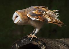 Ready for Takeoff (NYRBlue94) Tags: northcarolina raptor center carolina barn owl bird flight wing feather fly fast animal nature