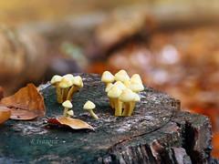 Little World... (R_Ivanova) Tags: nature macro mushroom fungi fall autumn forest wood leaf lights light colors color sony rivanova риванова природа гъби макро есен листа дърво пън цветно цветове