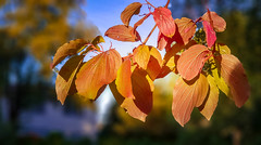 20180925-20180925_183332 (tosakan2000) Tags: leaves autumn fall colors nature