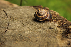 knock knock !!! is there anybody in there? (yasin.orhan) Tags: snail stump shell