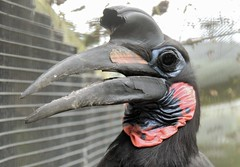 Colourful Ol' Bird..... Thank you all for your Views, Fav's & Comments (Kevin Pendragon) Tags: ground hornbill beak large feathers black blue red throat bird nature naturephotography cornwall paradisepark outdoors
