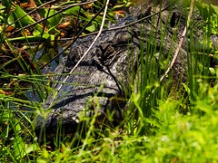 Shhh... It's Sleeping (Phil's 1stPix) Tags: floridastatepark lachua paynesprairie paynesprairiepreservestatepark alachuacountyflorida alachuasavannah olympusomdem5markii floridanature floridawildlife realflorida naturalecosystem geotag geotagged wildflorida phils1stpix firstpix unitedstates usa floridawetland floridagrassland floridaecosystem lachuatrail alachuagrassland alachuasink alachuasinklachuatrail paynesprairienaturetrail alligator alligatormississippiensis americanalligator centralfloridarecreation centralfloridasprings reptile photoscape creativecommonsnature restingalligator taxonomy:binomial=alligatormississippiensis m40150mmf4056r tiffencircularpolarizer submergedgator baskinggator alligatorbasking basking adobelightroom6 sleepingalligator alligatornap sleepyalligator donotdisturb leavesleepingalligatoralone april2017