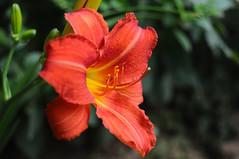 Proudly (Cvetomir Panayotov) Tags: nature flowers plants hemerocallis