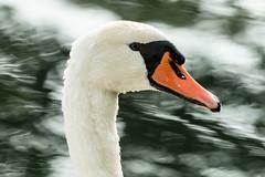 Cigno (simonealbini) Tags: uccello cigno lago fiume river ticino bianco acqua canoneos70d canon100400