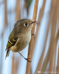 20181031_Conny_017-Edit (Dabson Photography) Tags: bombayhooknwr ruby crowned kinglet