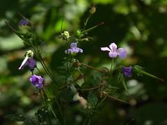 penombra fiorita (fotomie2009) Tags: flower flora fiore wild wildflower nature spontaneous spontaneo pink geranium geranio autunno autumn