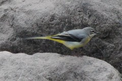 Img_3653 (steven.heywood) Tags: greywagtail wagtail
