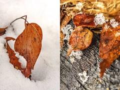 Snow Reds (red stilletto) Tags: marysville lakemountain skiresort skifields snow winter leaf leaves wood ice macro yarravalley
