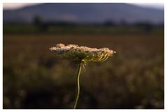 Sunset (Celtis Australis) Tags: sunset flower dusk afternoon pentaxk50 helios44258mmf2 bokeh