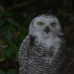 Snowy  owl (co lennings2011) Tags: snowyowl sneeuwuil buboscandiacus artis zoo amsterdam