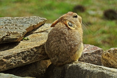 Ladakh Pika ! (Lopamudra !) Tags: lopamudra lopamudrabarman lopa animal pika ladakh jk india rodent rabbit hare rupsu rupshu valley rupshuvalley himalaya himalayas highaltitude highland mountain mountains