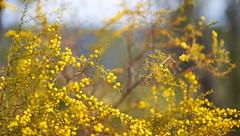 W. (solterrae) Tags: ifttt 500px fujioka fair weather sun lush solar flare copse reforestation sunbeam phalaenopsis scenery foliage wattle australian emblem flora yellow acacia pycnantha
