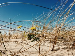 Arnica Montana (J.C. Moyer) Tags: iphonese color colour vintage rustic flora sea dunes dune beach nature blue bluesky sand arnicamontana dunegrass