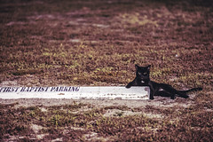 Parking Lot Security (3rd-Rate Photography) Tags: cat parkinglot animal grass daytona florida canon 70200mm 5dmarkiii 3rdratephotography earlware 365