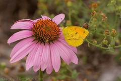 20181007-_E1A8550 (Denver Kramer) Tags: animals canon100400mmll canon7dll clearcreek denton denverkramerphotography texas butterflies wildlife unitedstates us
